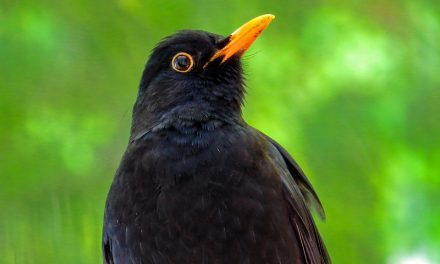 How to get rid of Blackbirds (from your garden)