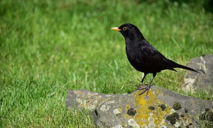Do Blackbirds Migrate?