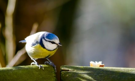 Are Blue Tits in Decline or Endangered?