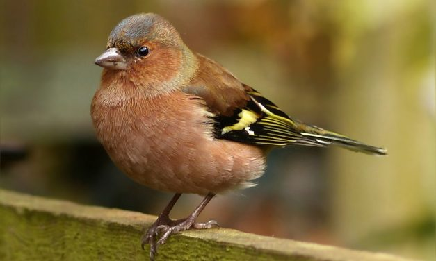 What do Chaffinches Eat?