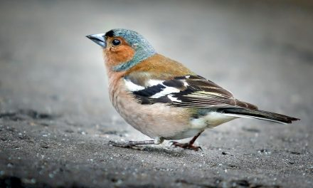 Are Chaffinches in Decline?