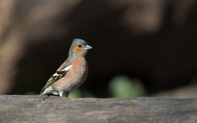 Do Chaffinches Migrate?