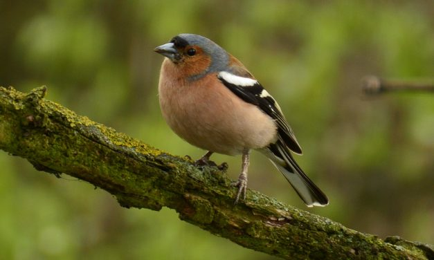 How to attract Chaffinches to your garden