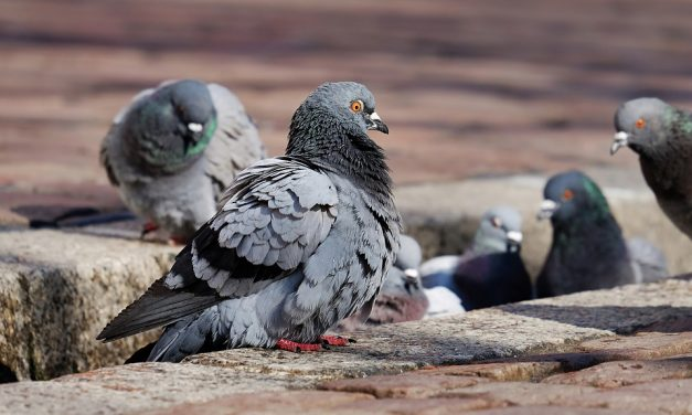 Are Pigeons Dirty?