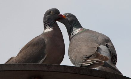 Do Pigeons Mate for Life?