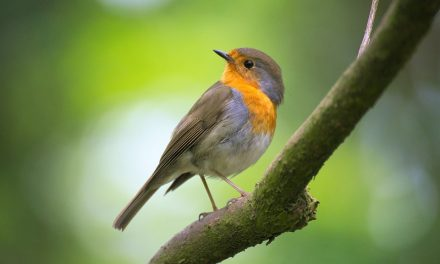 What kind of food do Robins Eat?