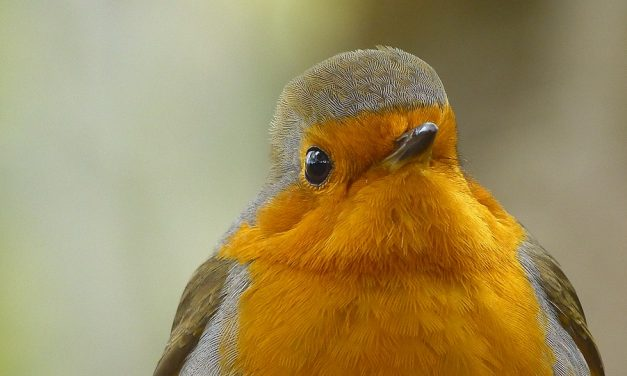 Are Robins in Decline or Endangered?