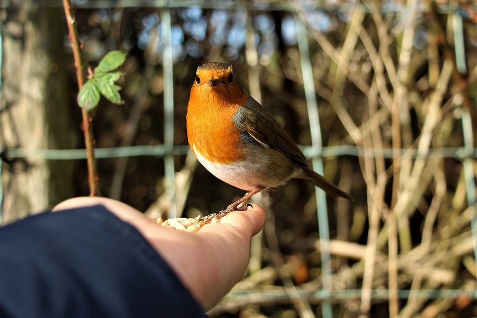How to tame a Robin