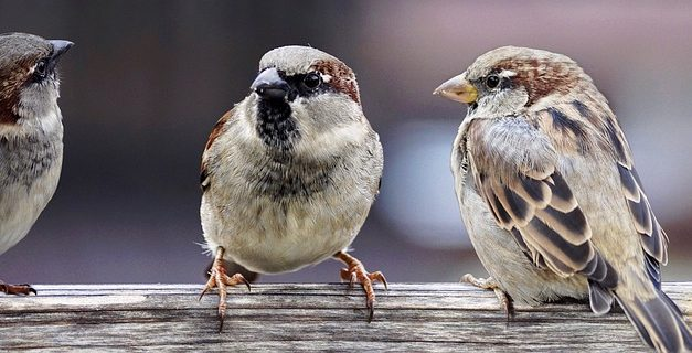 Do Sparrows Migrate?