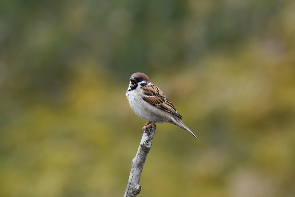 Do Sparrows Mate For Life