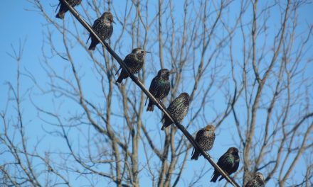 What do Starlings Eat?