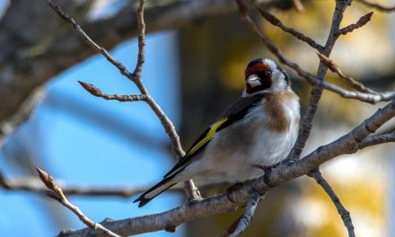 How to attract Goldfinches to your Garden