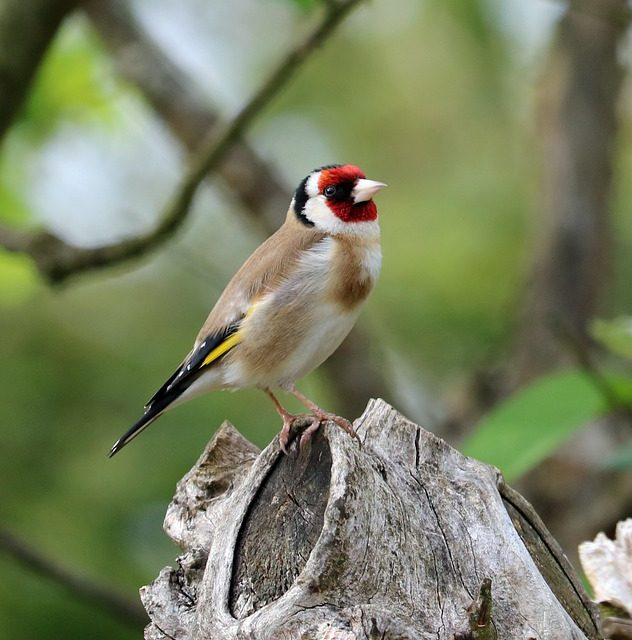Do Goldfinches Migrate?