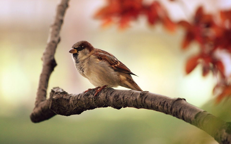 Are Sparrows In Decline