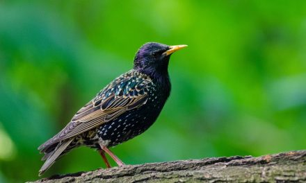 Do Starlings Mate for Life?