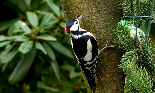 What do Woodpeckers Eat?