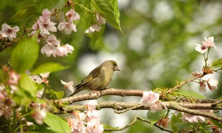 Are Greenfinches in Decline?