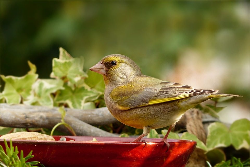 What do Greenfinches Eat?