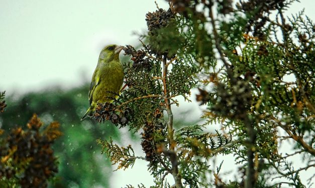 How to attract Greenfinches to your garden