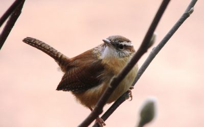 Where Do Wrens Build Their Nests?