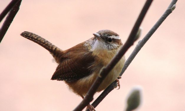 Are Wrens in Decline?