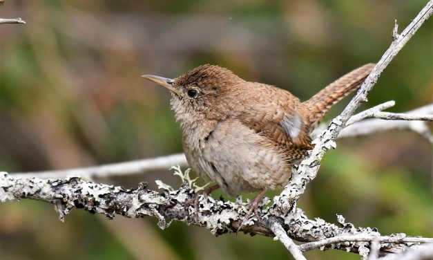 What do Wrens Eat?