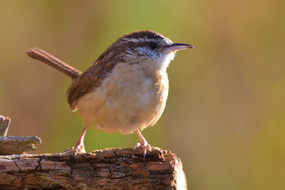 How to Attract Wrens to your Garden