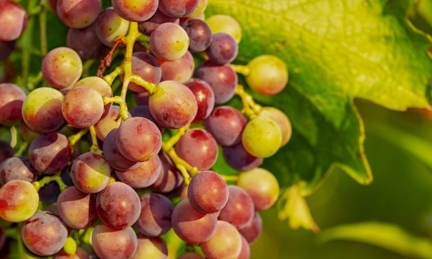 Do Birds Eat Grapes?