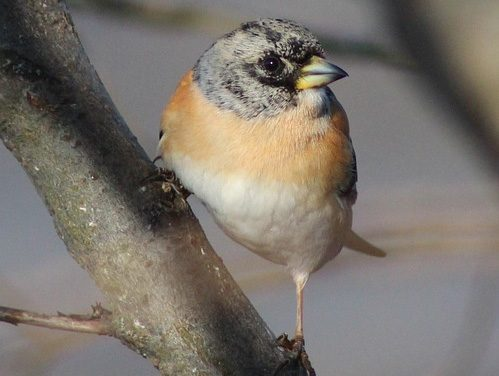 Are Bramblings Endangered in the UK?