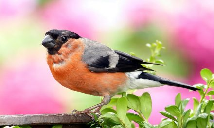 Do Bullfinches Mate For Life?