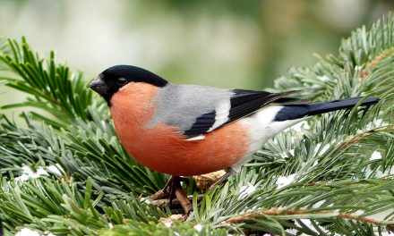 Are Bullfinches in Decline