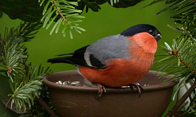 Do Bullfinches Migrate?