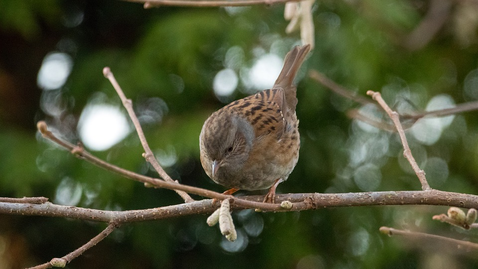 What do Dunnocks Eat?