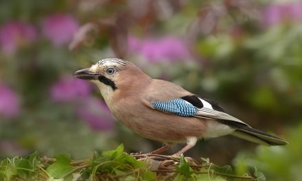 Are Jays Endangered in the UK?