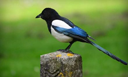 Are Magpies Territorial?