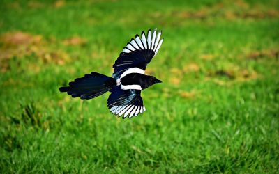 Do Magpies Eat Other Birds?