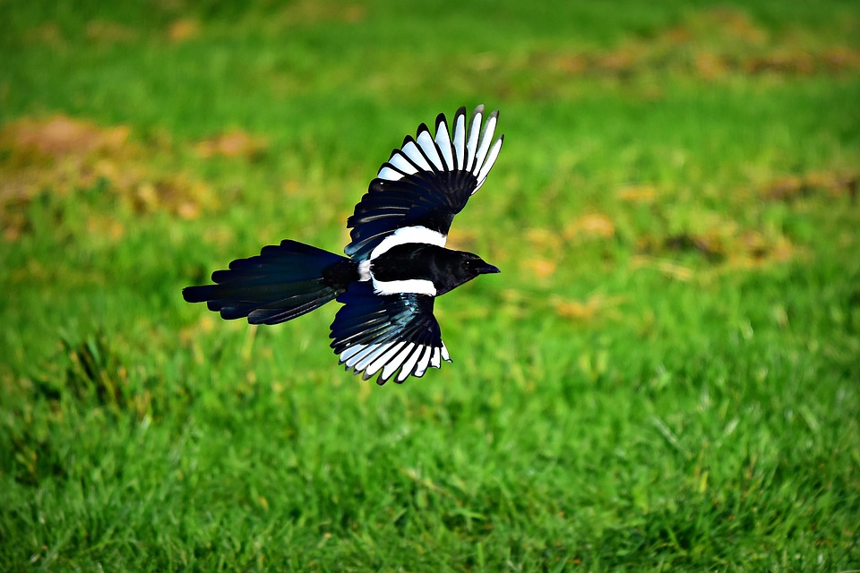 Are Magpies Lucky or Unlucky?