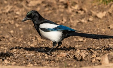 Do Magpies Mate for Life?