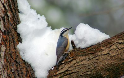 Where do Nuthatches Nest?