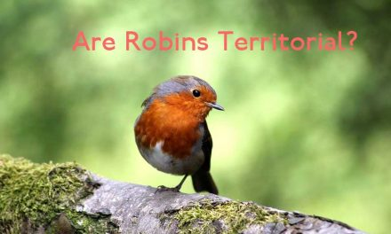 Are Robins Territorial?