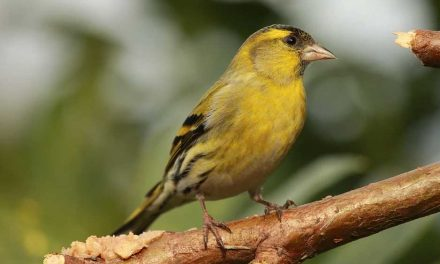 What Do Siskins Eat?