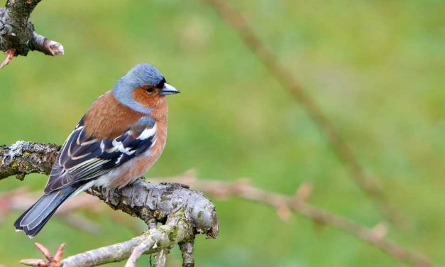 Do Chaffinches Mate for Life?