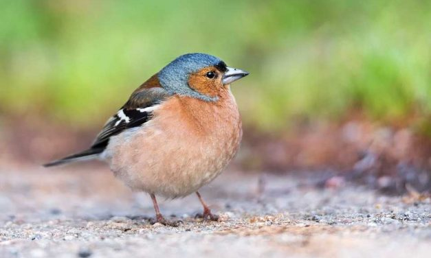Are Chaffinches Territorial?