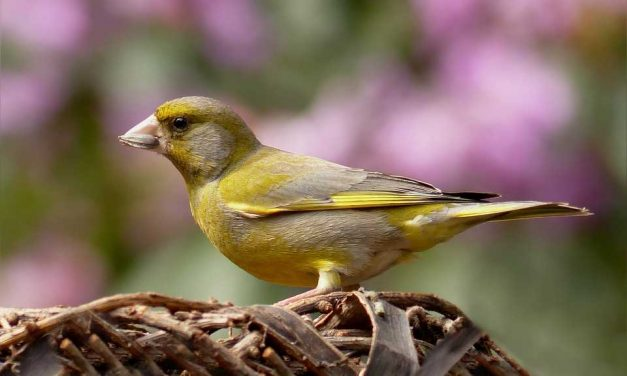 Do Greenfinches Migrate?