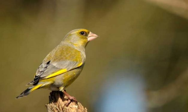 Do Greenfinches Mate For Life?