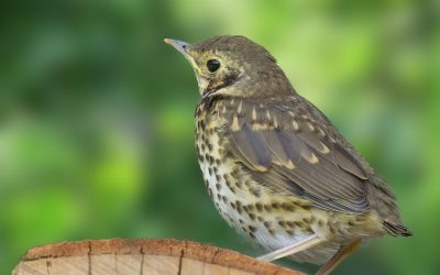 What Do Thrushes Eat?