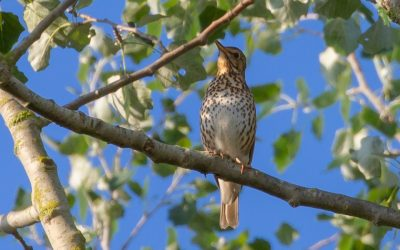 Are Thrushes In Decline?