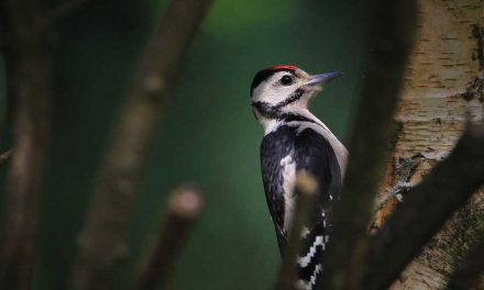 Do Woodpeckers Attack Other Birds?