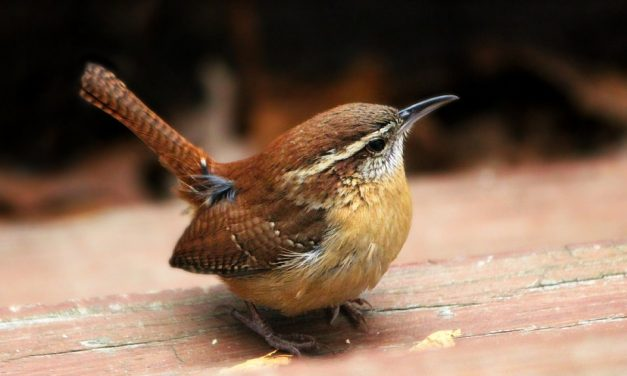 Do Wrens Migrate?