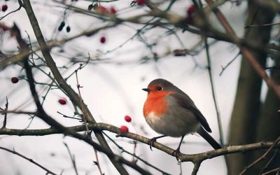 When Robins Are Near Poem